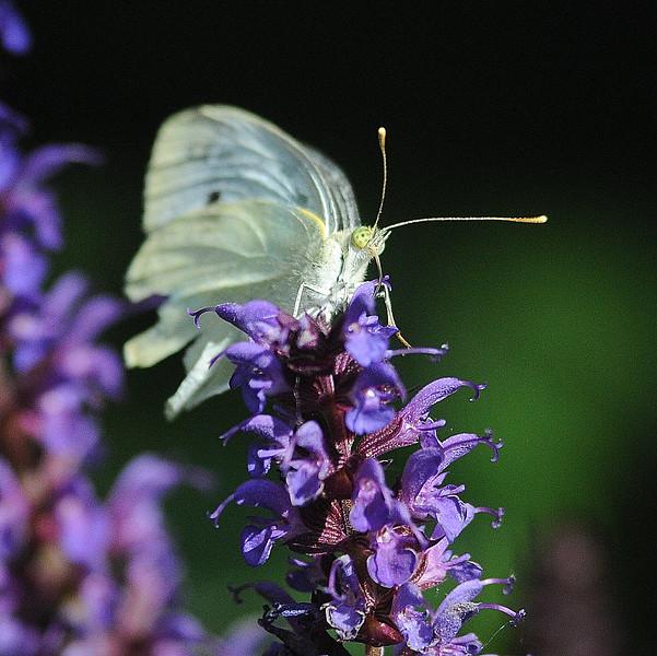 buterfly on salvia