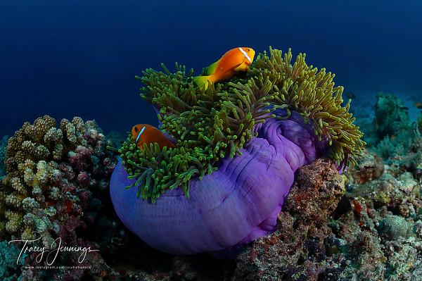Maldives Reef (North Ari)