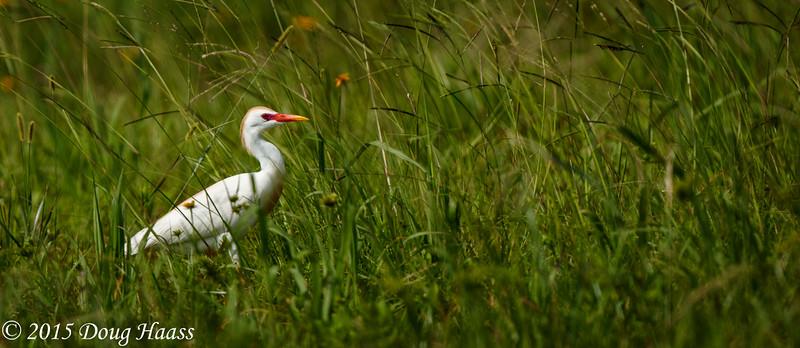 Cattle Egret Bubulcus ibis in a field off Genoa Red Bluff Road.