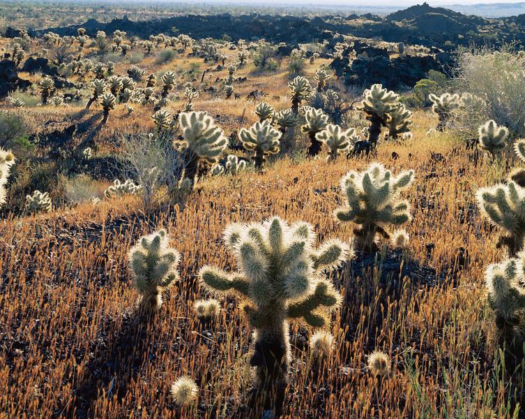 Biosphere Reserve of the, MEX/Pinacate & Gran Desierto Altar, Mexico Smooth milkvine (Sarcostemma hirtellum) flowering against Saguaro cactus (Carnegiea gigantea).395V4