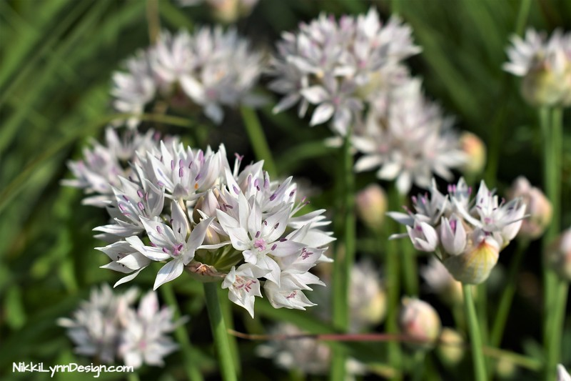 White Nodding Onion Plant
