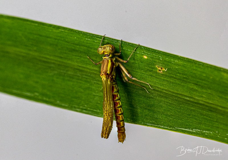 Emerging Damsel-2746-Edit.jpg