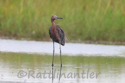 Reddish Egret with GPS Tracker & Leg Bands