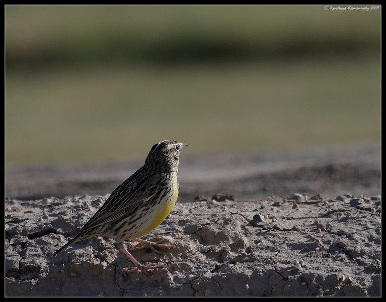 Western Meadowlark, Salton Sea, Imperial County, California, November 2009