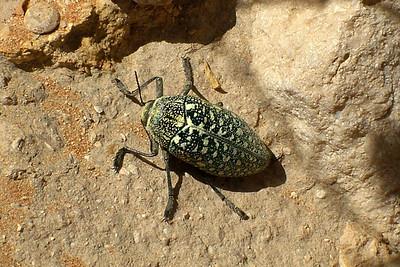 Sulphurous Jewel Beetle