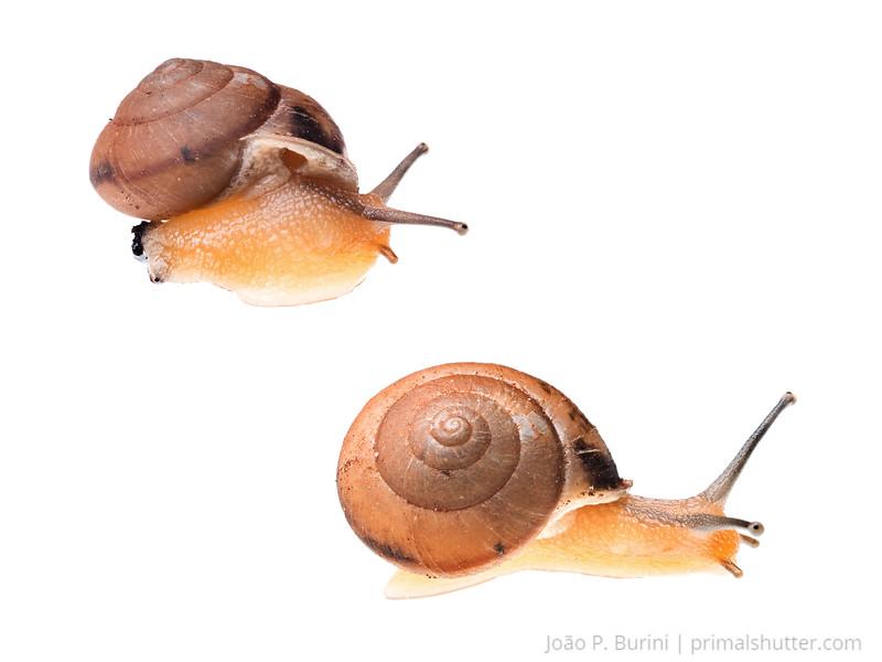 Snail (Bradybaena similaris) Sorocaba, SP, Brazil Urban March 2014