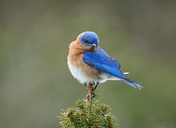 Bluebirds 2018