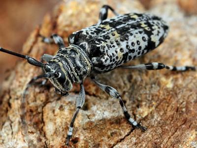 Cerambycidae - Longhorn Beetles
