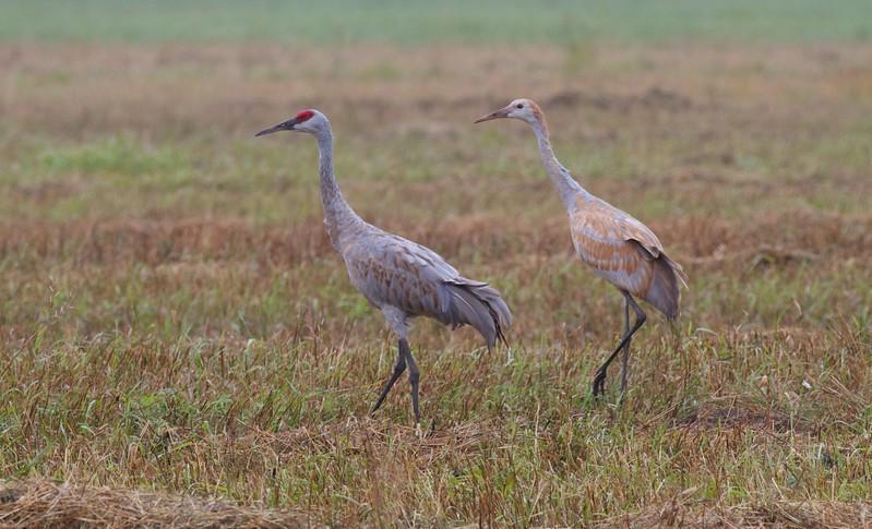 Sandhill Crane adult juvenile Sax-Zim Bog MN IMG_6640.jpg