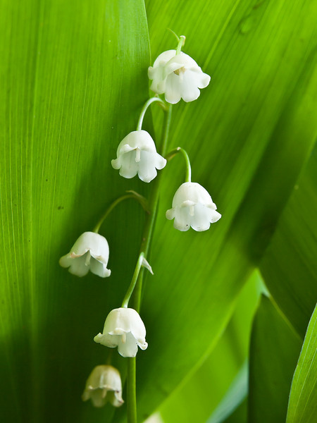 May 14 in the Lily of the Valley life cycle study.