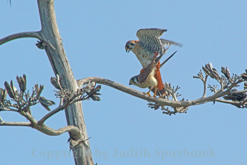 Kestrels Making Kestrels ~ This pair of American Kestrels was captured mating, at Bolsa Chica Ecological Reserve.  The image has been cropped considerably, so isn't as high quality as I would have liked.  It was still a special moment, one that I've not seen before, which I wanted to document.