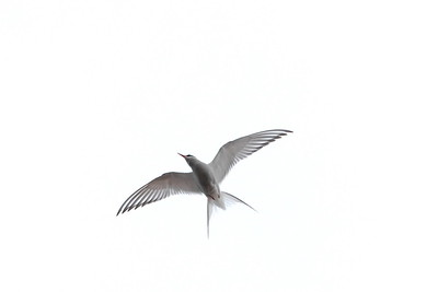 Artic tern (Sterna paradisaea)