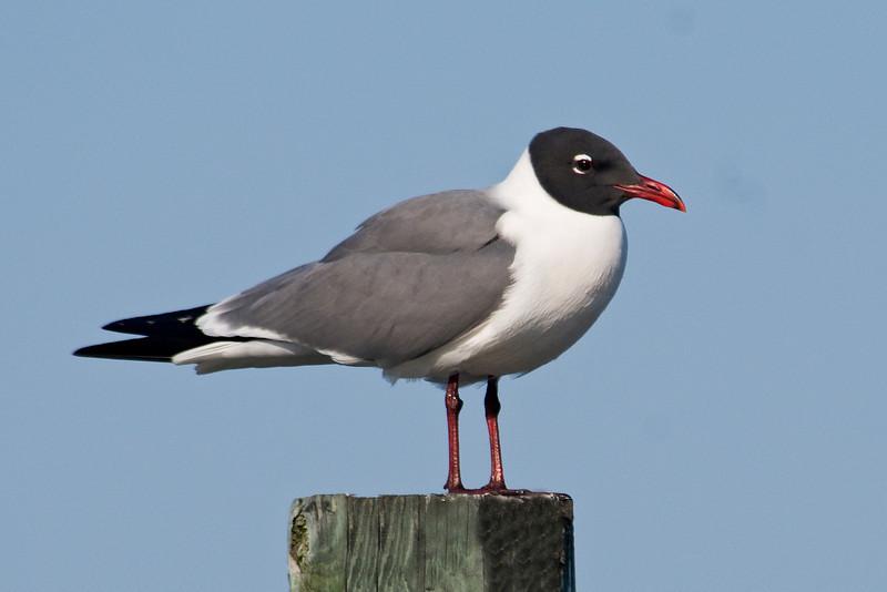 Gull - Laughing - Ocracoke Island, NC - 02