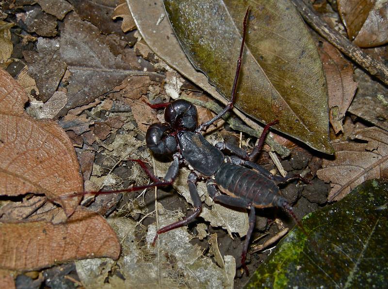 Whip Scorpion, exact species unknown