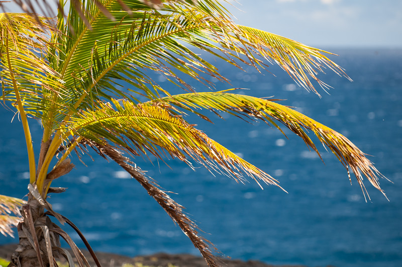 Hawaii Palm