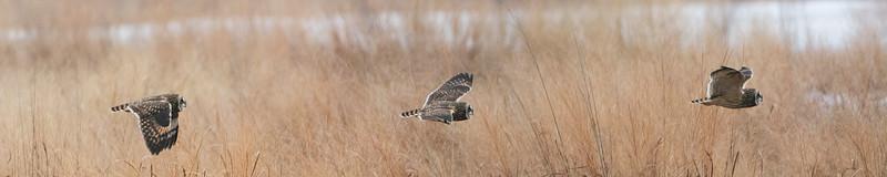 Short Eard Owl Pano.jpg