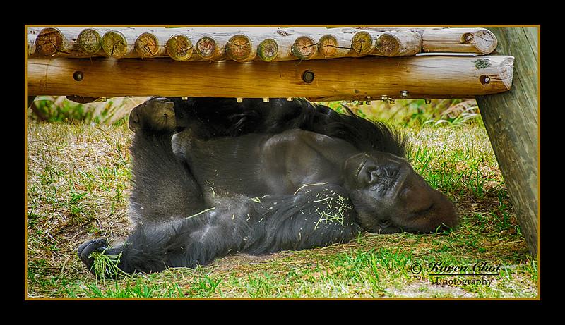 sleeping gorilla sm.jpg