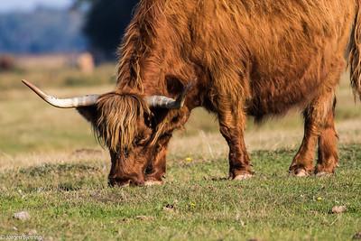 Cattle - Kvæg