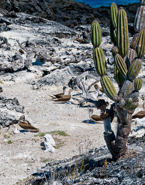 Cactus, Blue-Footed Boobies, and chicks on a cliff at Punta Moreno, Isabela Island