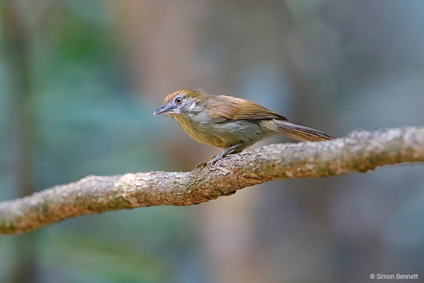 Laughingthrushes and Old World Babblers