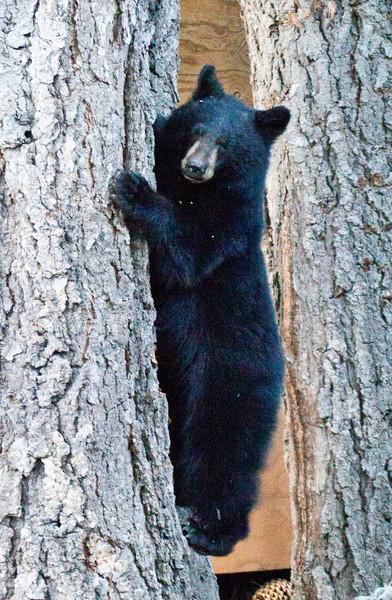 Black Bear  Mammoth Lakes 2013 04 26 (3 of 6).CR2