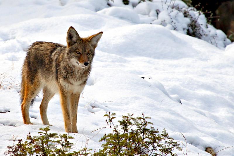 Coyote at Yosemite National Park - 2012