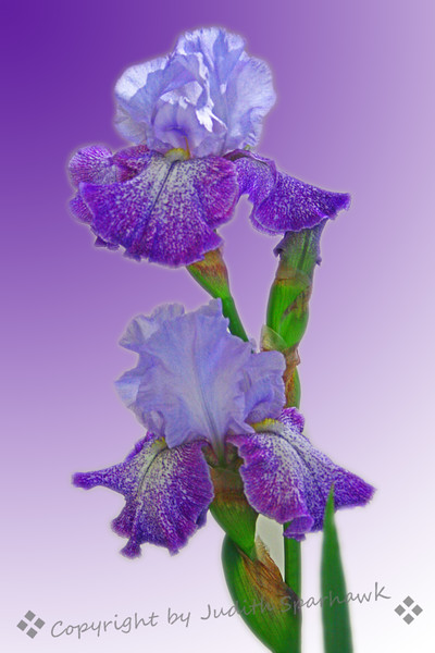 Purple Ruffles.jpg