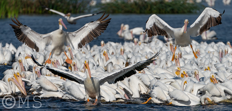 White Pelican Image Gallery