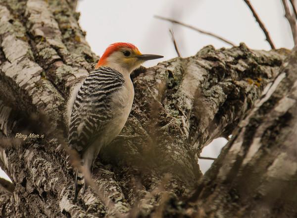 Red-bellied Woodpecker_DWL6320.jpg