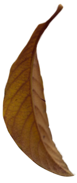 Leaf 13.png