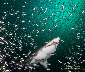 Sand Tiger Sharks In Green Water