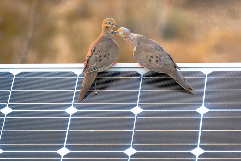 Dove Love On A Solar Panel #2