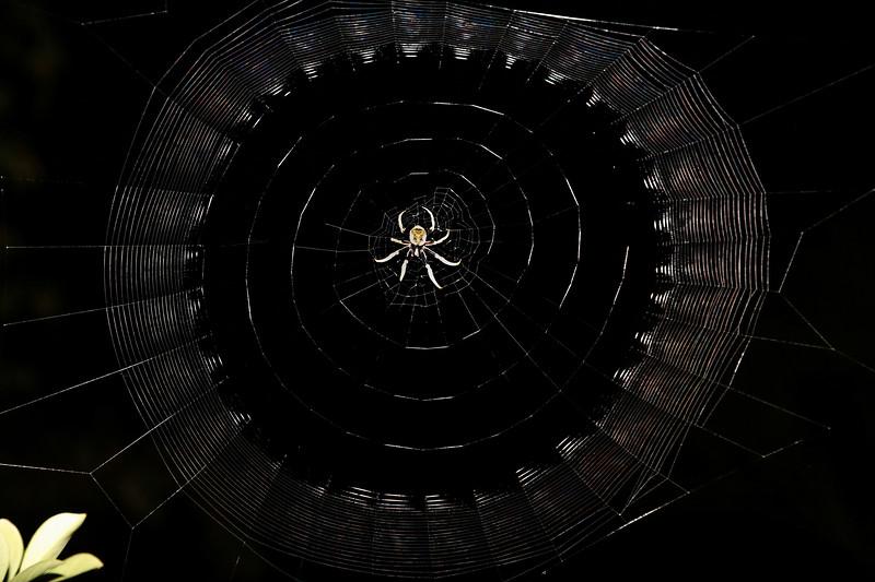 Giant Orb-Weaving Spider