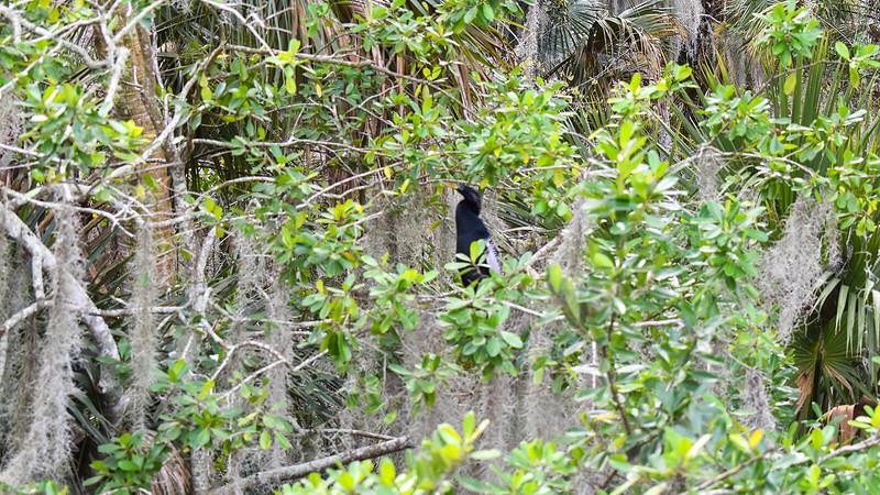 Anhinga in the trees