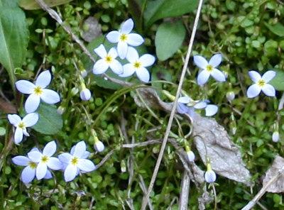 Houstonia serpyllifolia.jpg