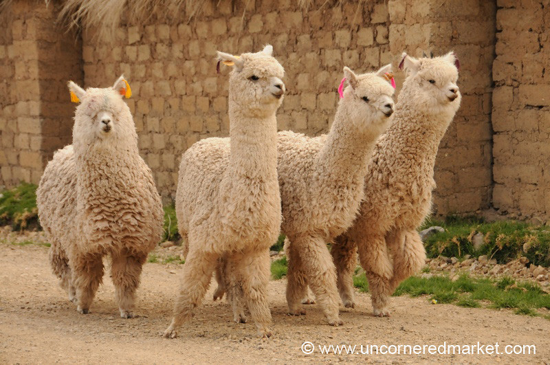 A Pack of Alpacas - Huancavelica, Peru
