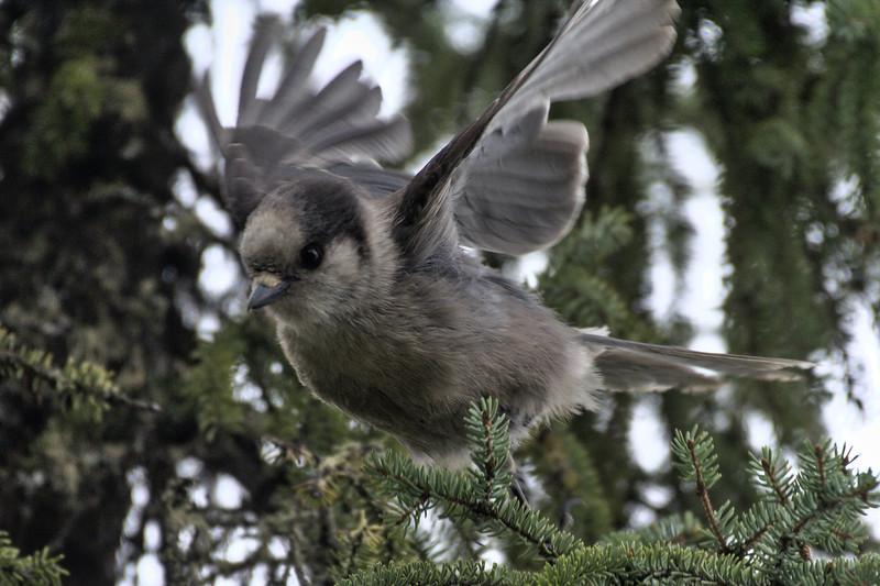 Canada Jay Taking Flight