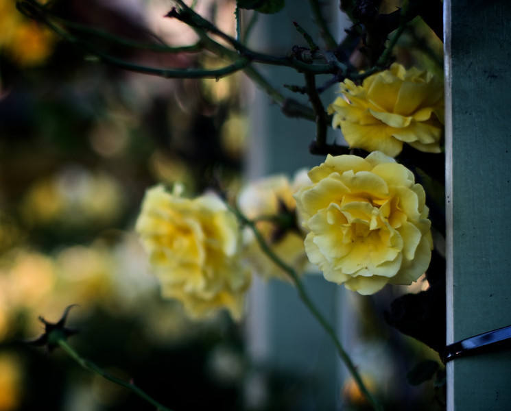 Roses_2010-11-17_624_DJB_rights_reserved