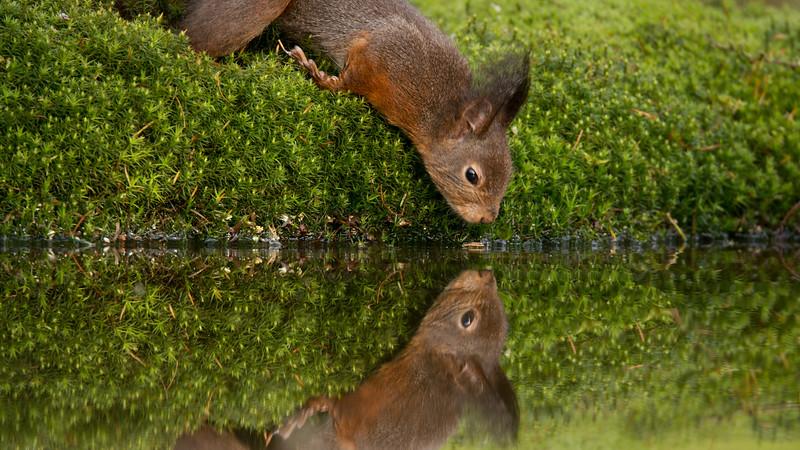 Red squirrel, Sciurus vulgaris. Schaijk, The Netherlands.