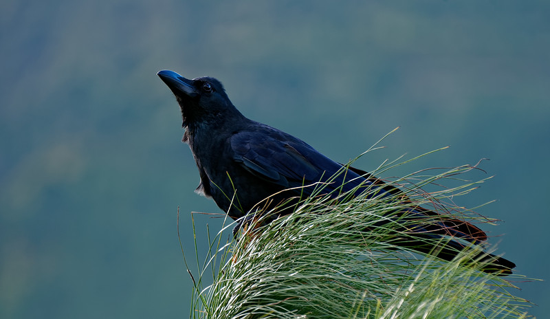 Raven-National bird of Bhutan