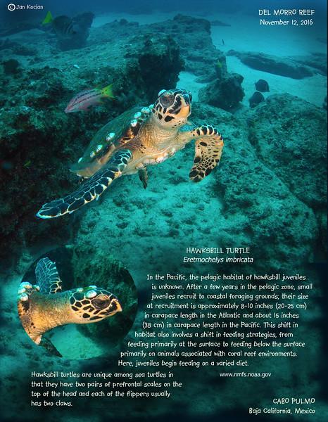 11.12.16 Hawkbill turtle .jpg