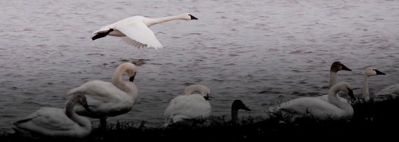 2011 swan migration aylmer (18 of 51).jpg