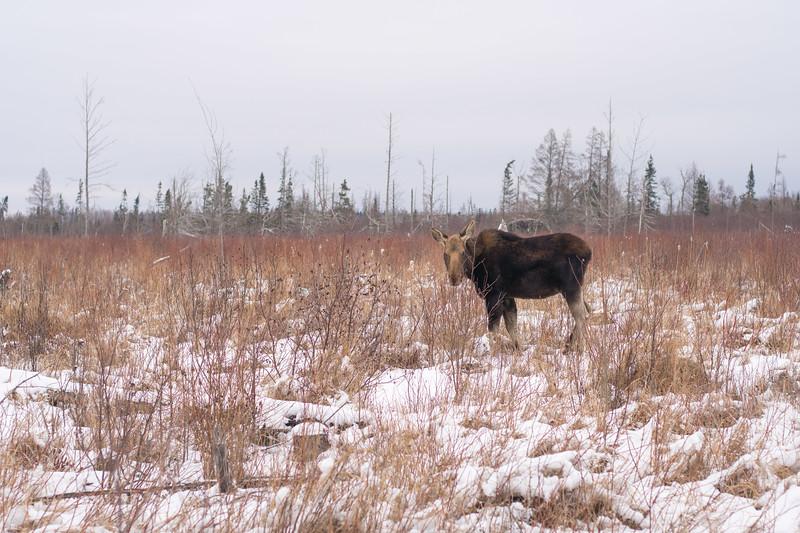 Moose cow yearling in snow Blue Spruce Road Sax-Zim Bog MN DSC02493.jpg