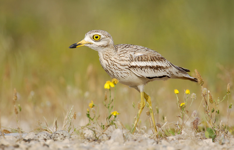 Stone Curlew MASTER.jpg