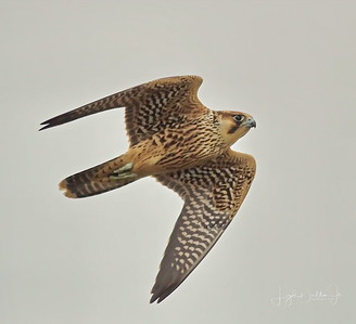 Cattail Marsh - The Falcon   10-11-17