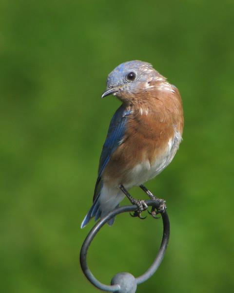 bluebird_fledgling_5086.jpg