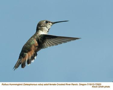 Rufous Hummingbird F72953.jpg