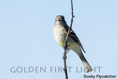 Dusky Flycatcher, Market Lake Wildlife Refuge, USA