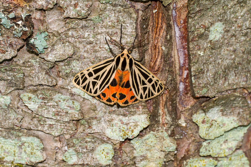 Grammia virgo Virgin Tiger Moth 93-0244 8197 Family Erebidae Skogstjarna Carlton County MN IMG_1709.jpg
