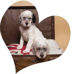 English-Setter-Puppies-UK-Redhara-Setters.png